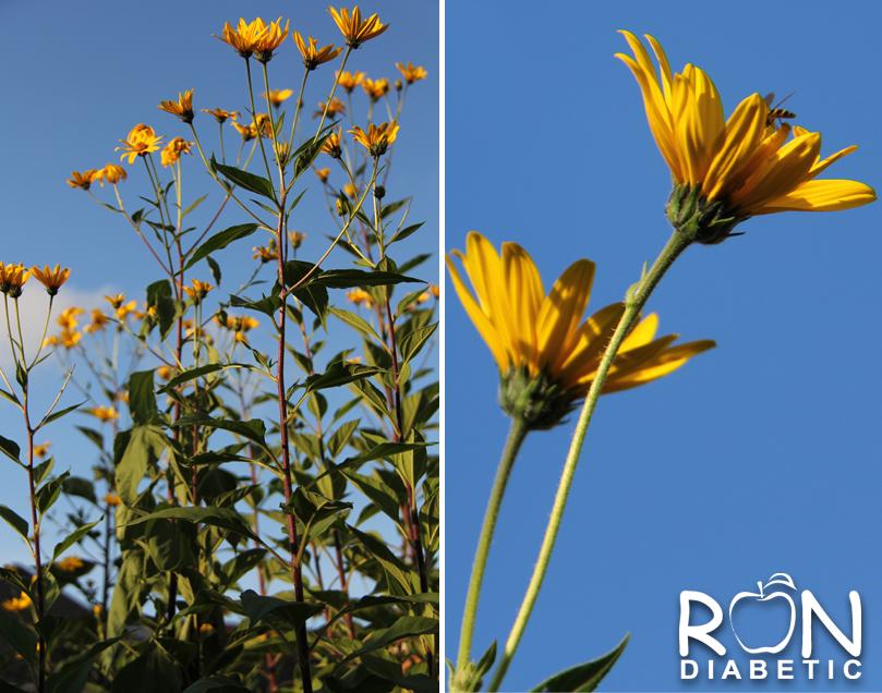 Вот так цветет Топинамбур или Иерусалимский артишок